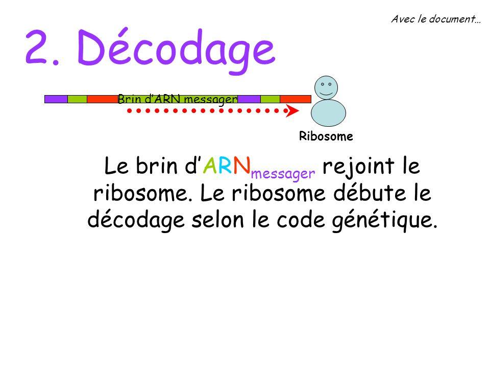 Avec le document… 2. Décodage. Brin d'ARN messager. Ribosome.