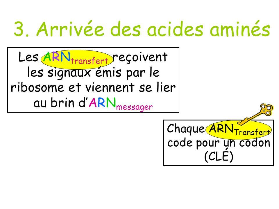 Chaque ARNTransfert code pour un codon (CLÉ)