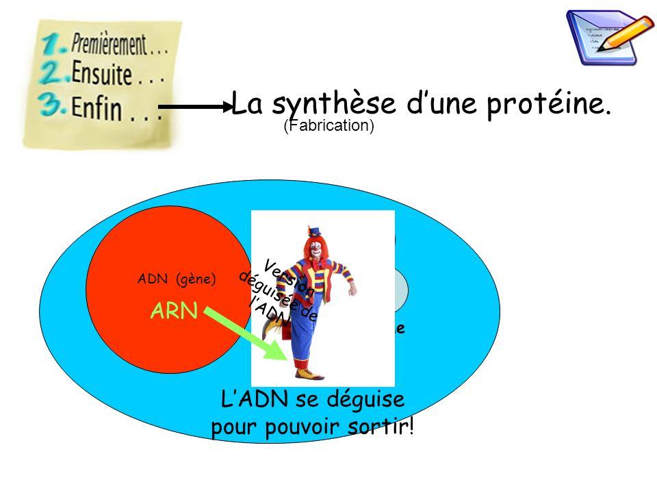 La synthèse d'une protéine.