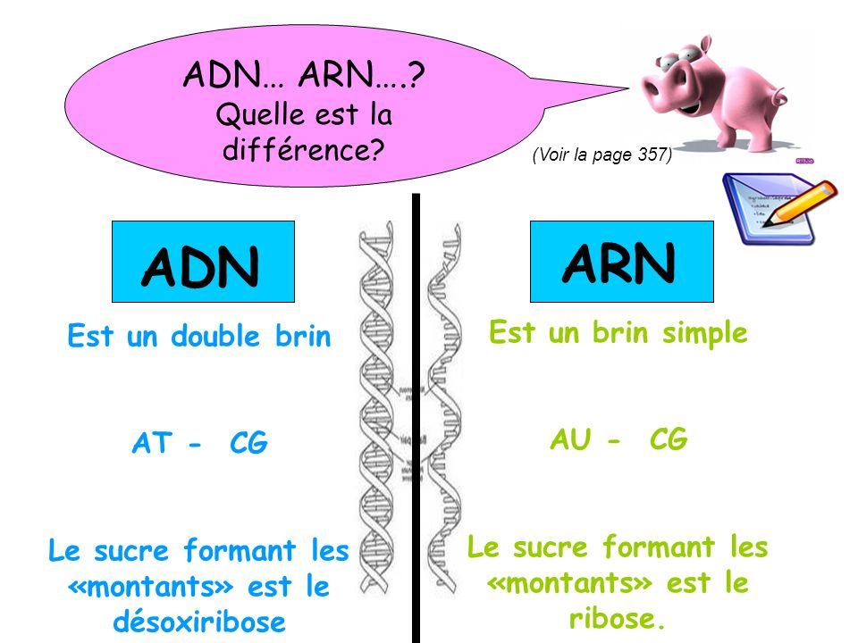 ARN ADN ADN… ARN…. Quelle est la différence Est un brin simple