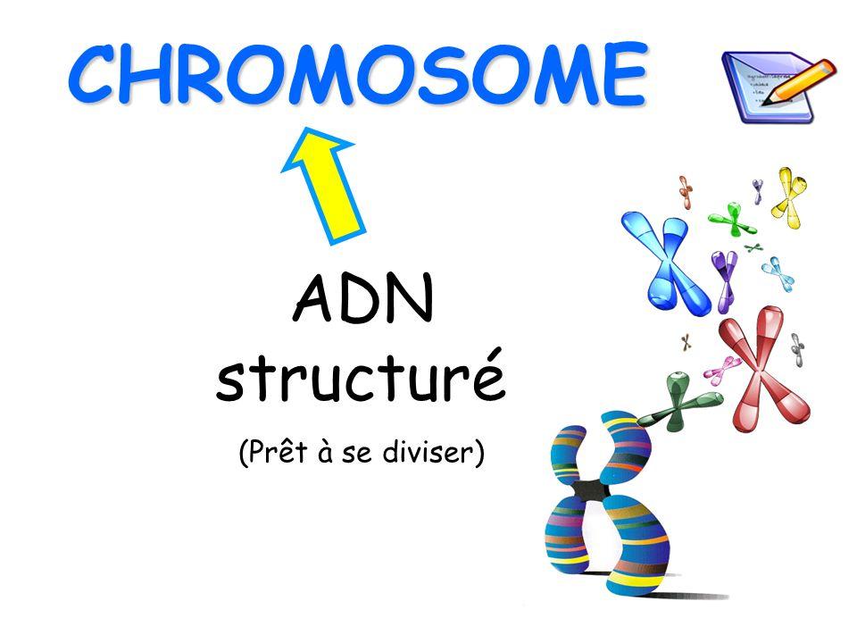 CHROMOSOME ADN structuré (Prêt à se diviser)