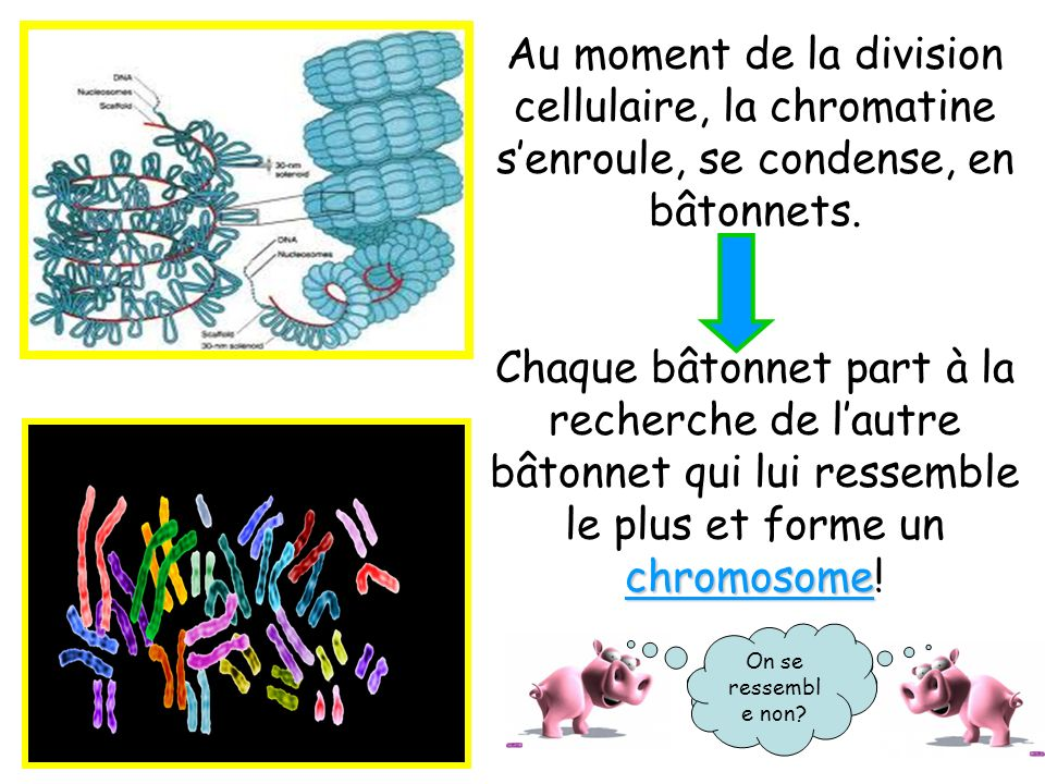 Au moment de la division cellulaire, la chromatine s'enroule, se condense, en bâtonnets.