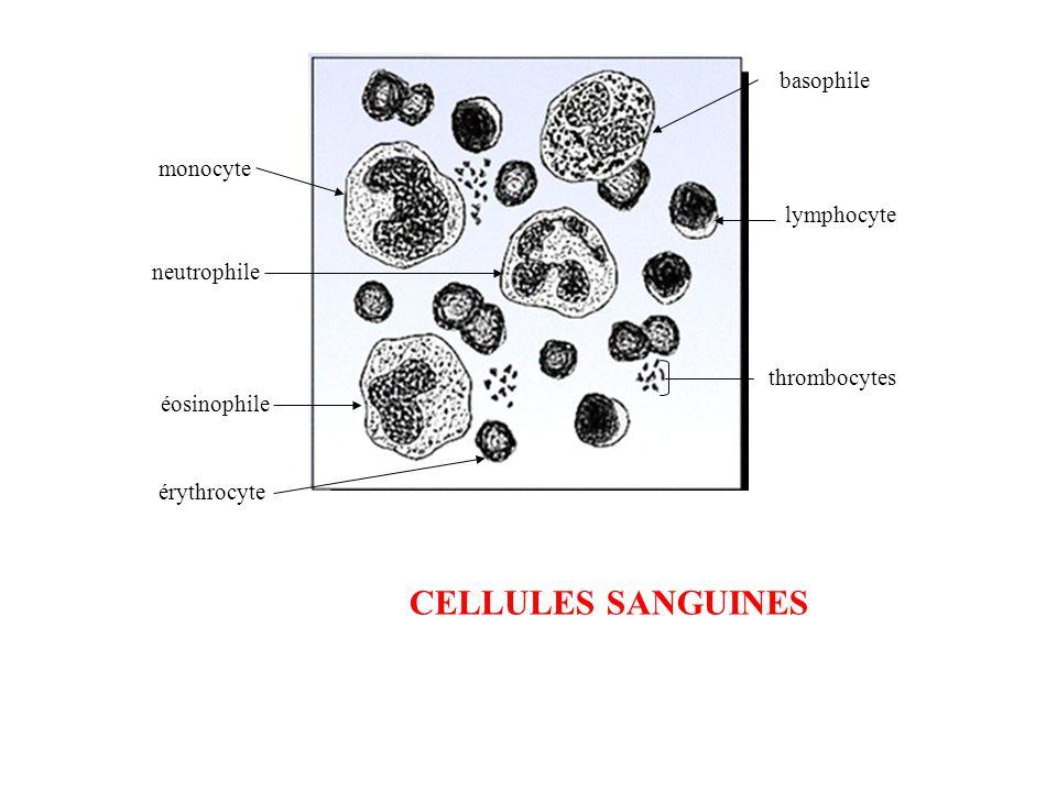 CELLULES SANGUINES basophile monocyte lymphocyte neutrophile