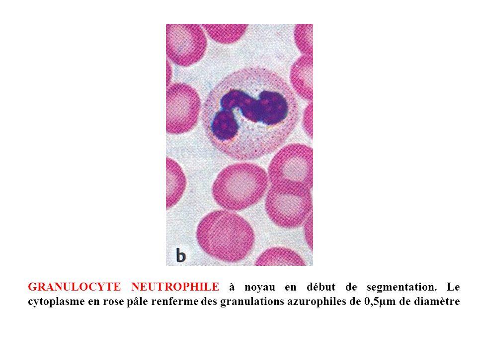 GRANULOCYTE NEUTROPHILE à noyau en début de segmentation