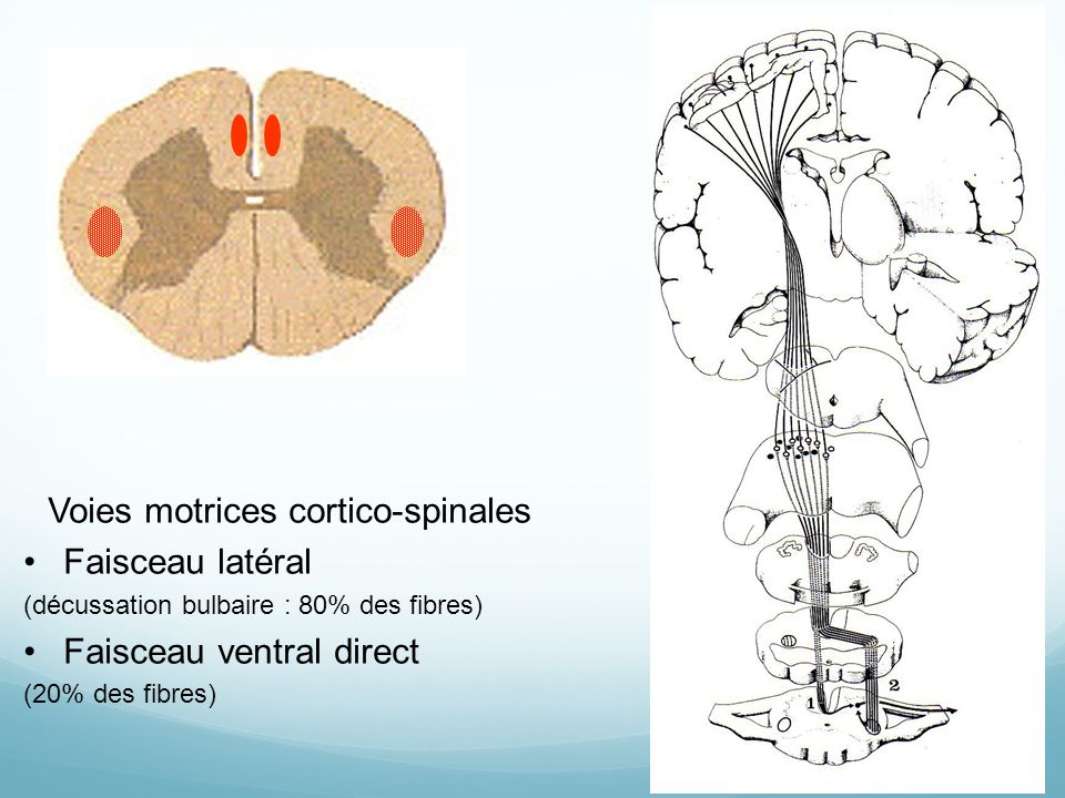 Voies motrices cortico-spinales