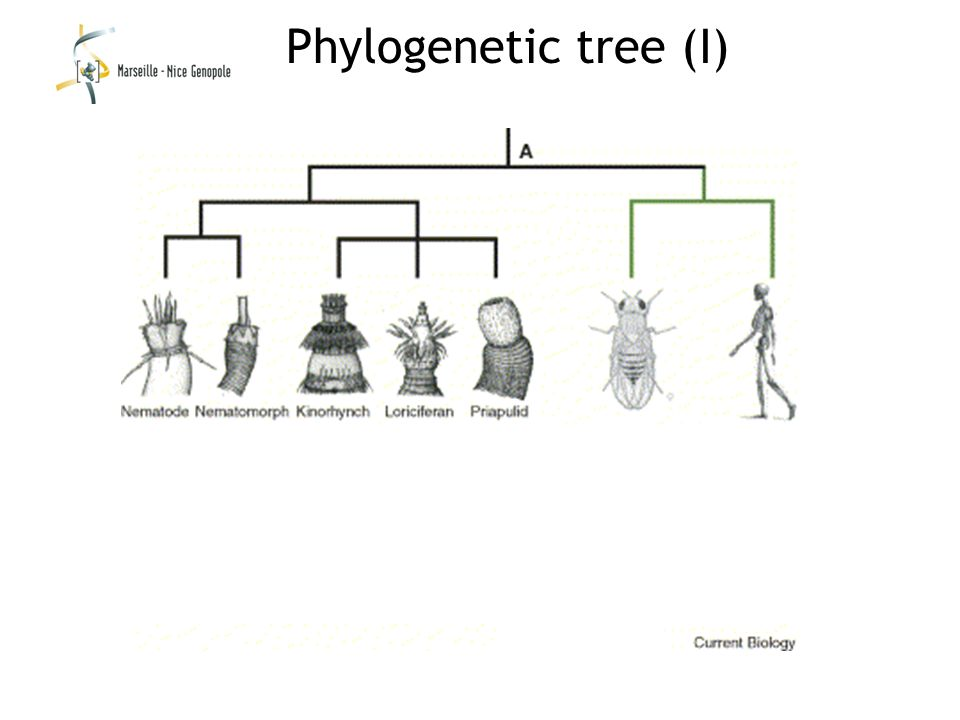 Phylogenetic tree (I)