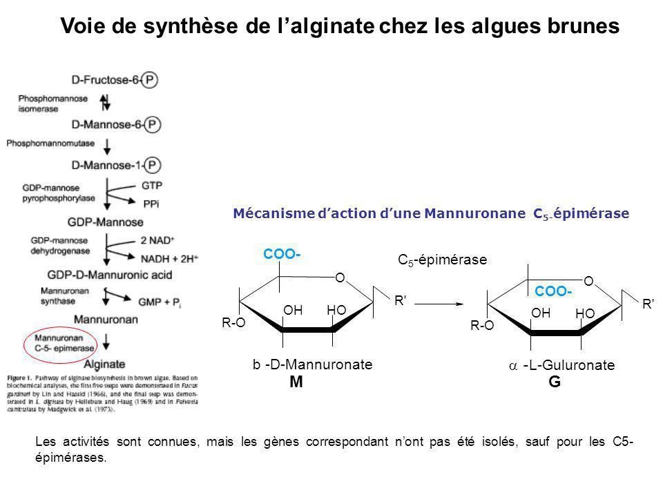 Mécanisme d'action d'une Mannuronane C5-épimérase