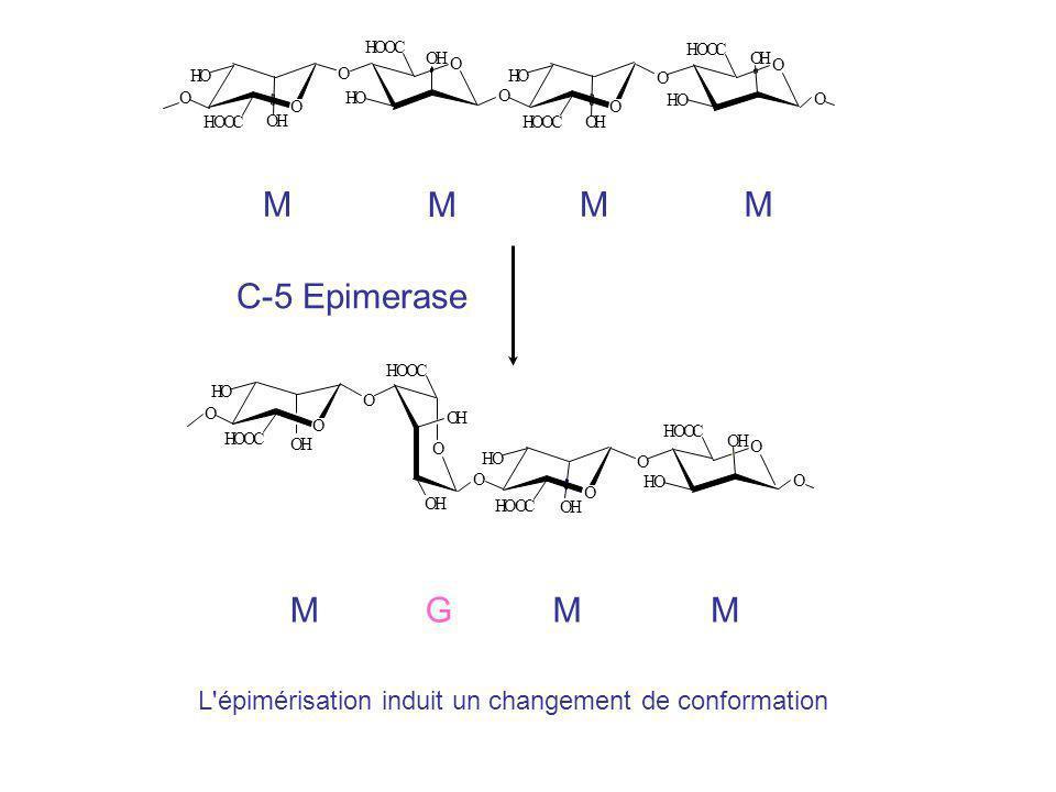 O H C M M M M C-5 Epimerase O H C M G M M L épimérisation induit un changement de conformation