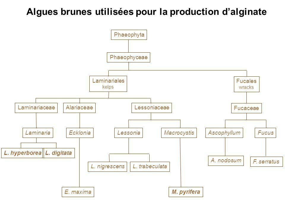 Algues brunes utilisées pour la production d'alginate