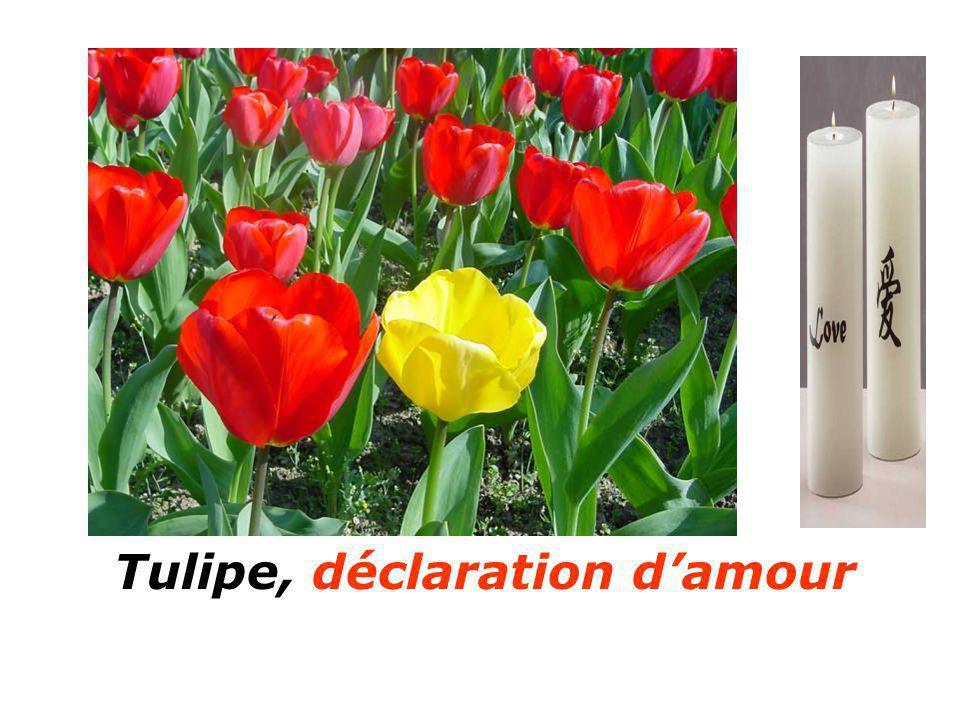Tulipe, déclaration d'amour