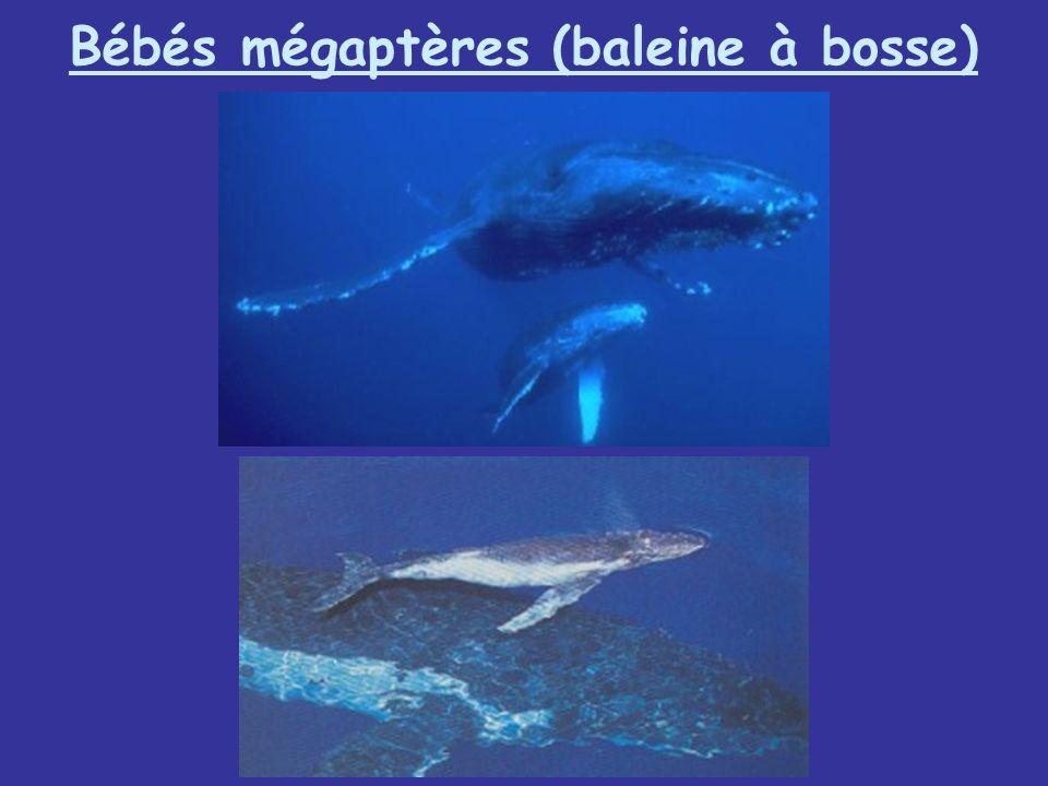 Bébés mégaptères (baleine à bosse)