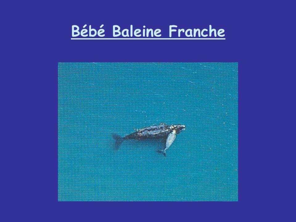 Bébé Baleine Franche