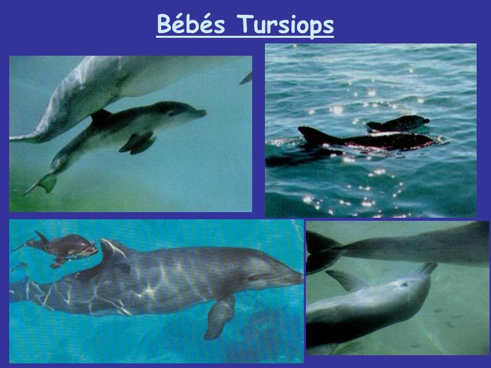 Bébés Tursiops