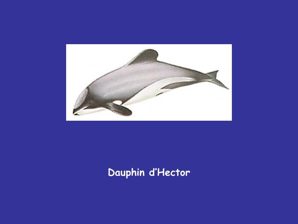Dauphin d'Hector