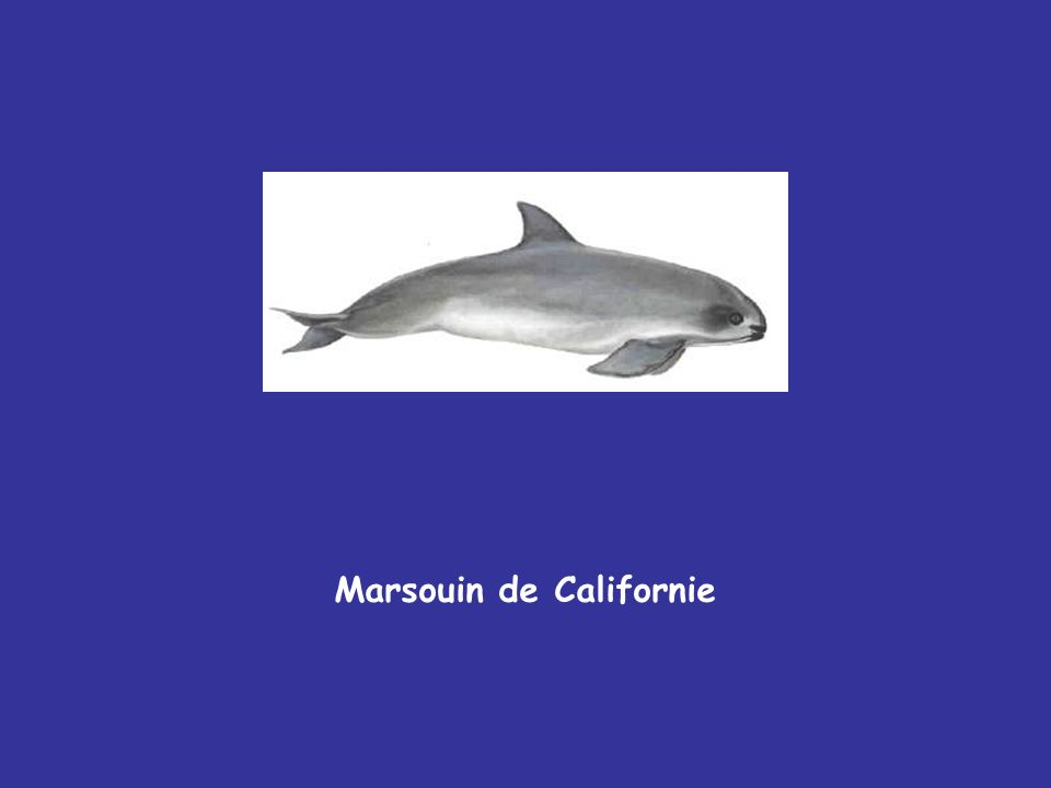Marsouin de Californie