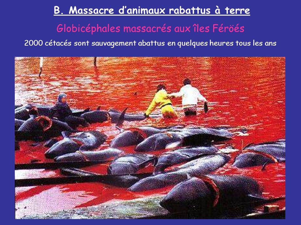 B. Massacre d'animaux rabattus à terre