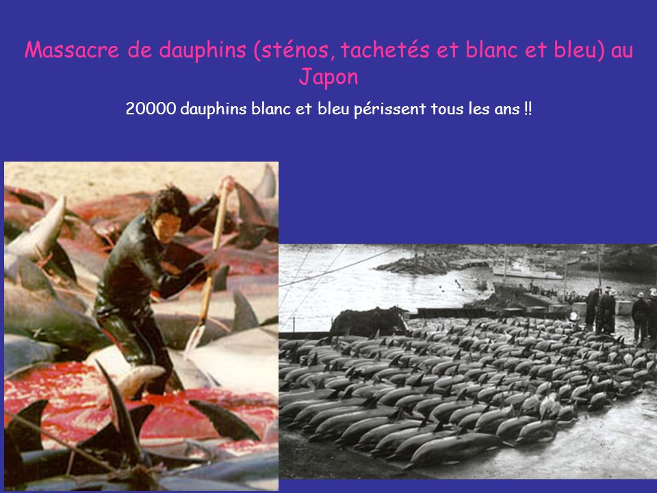 Massacre de dauphins (sténos, tachetés et blanc et bleu) au Japon