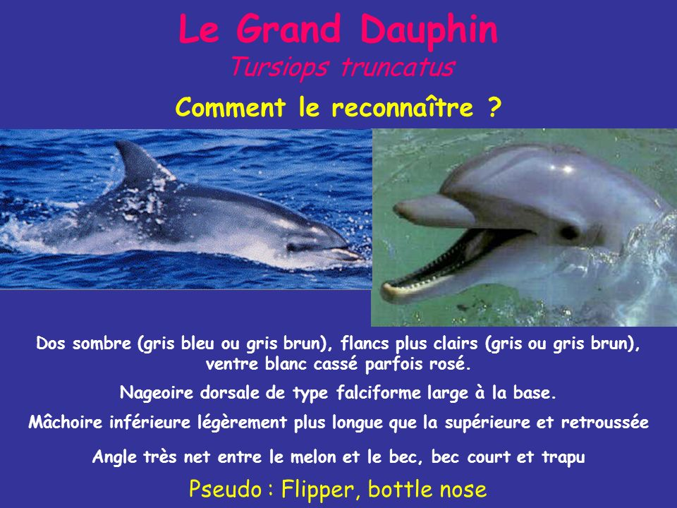 Le Grand Dauphin Tursiops truncatus