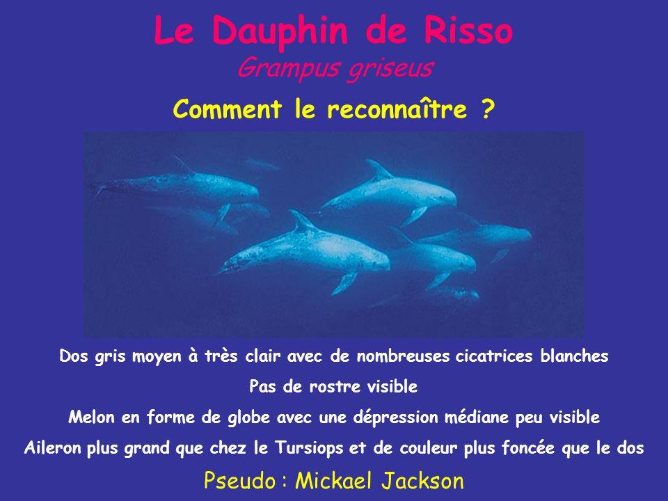 Le Dauphin de Risso Grampus griseus