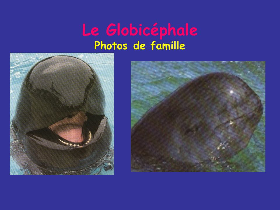 Le Globicéphale Photos de famille