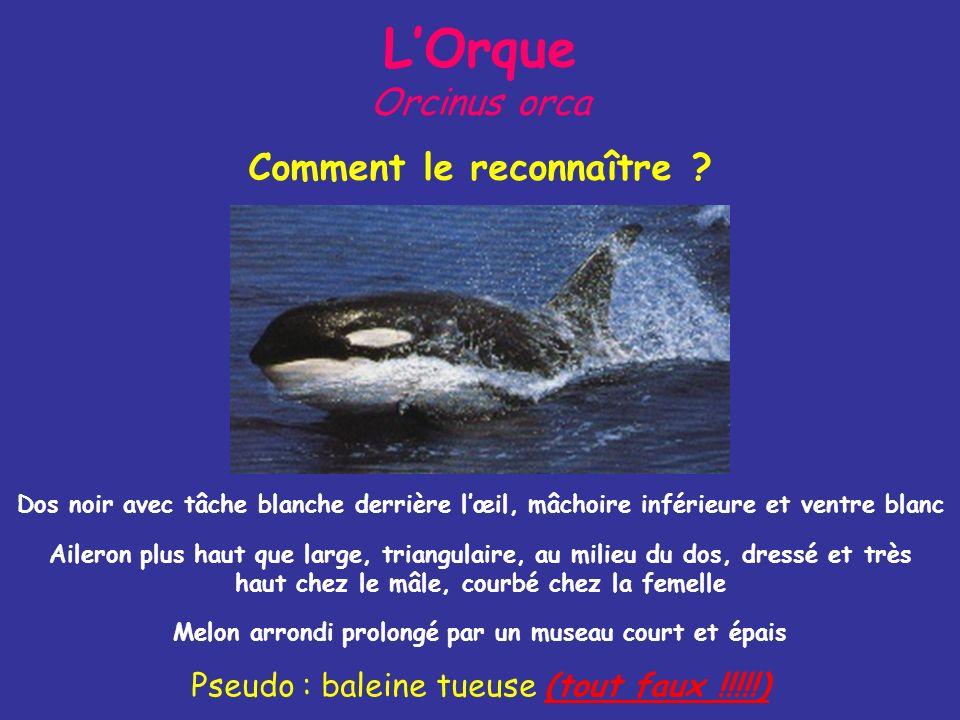 L'Orque Orcinus orca Comment le reconnaître