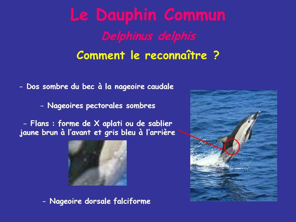 Le Dauphin Commun Delphinus delphis Comment le reconnaître