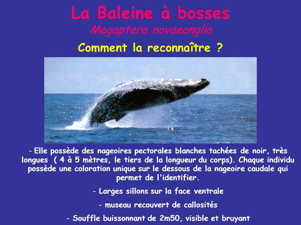 La Baleine à bosses Megaptera novaeanglia