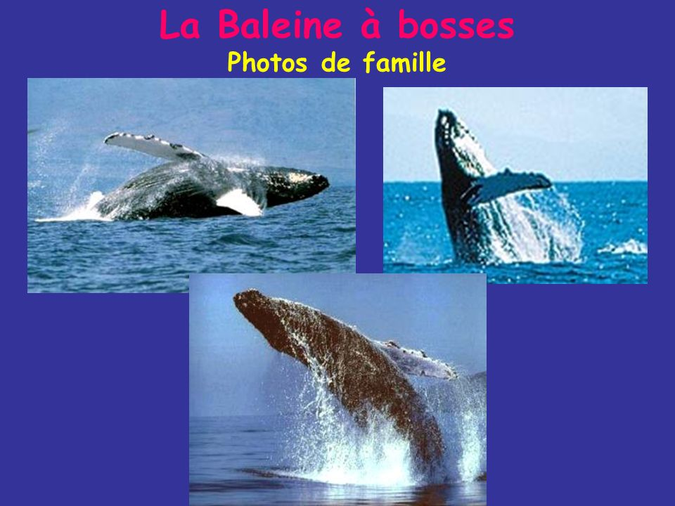 La Baleine à bosses Photos de famille