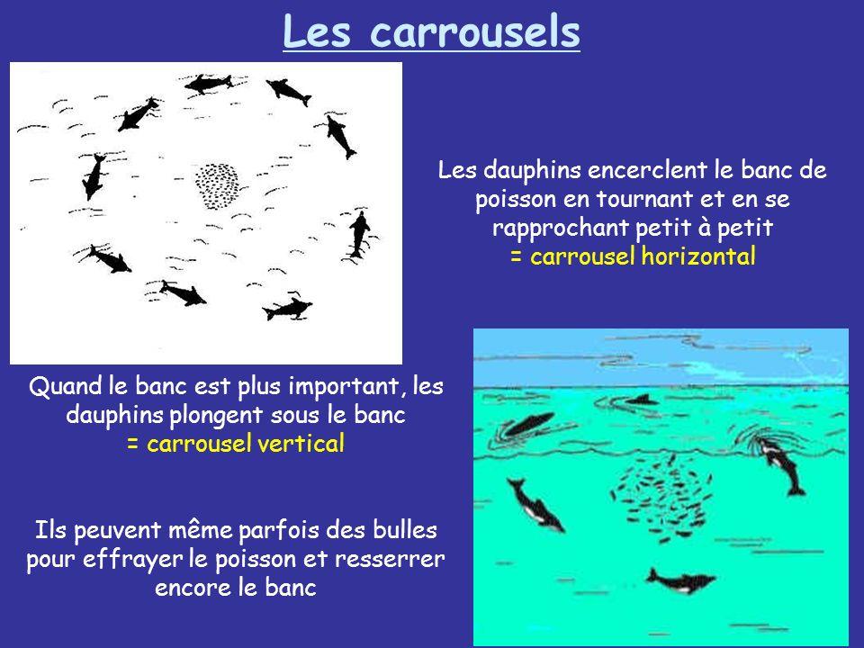 Les carrouselsLes dauphins encerclent le banc de poisson en tournant et en se rapprochant petit à petit = carrousel horizontal.