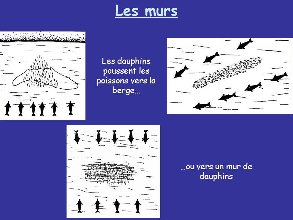 Les murs Les dauphins poussent les poissons vers la berge…