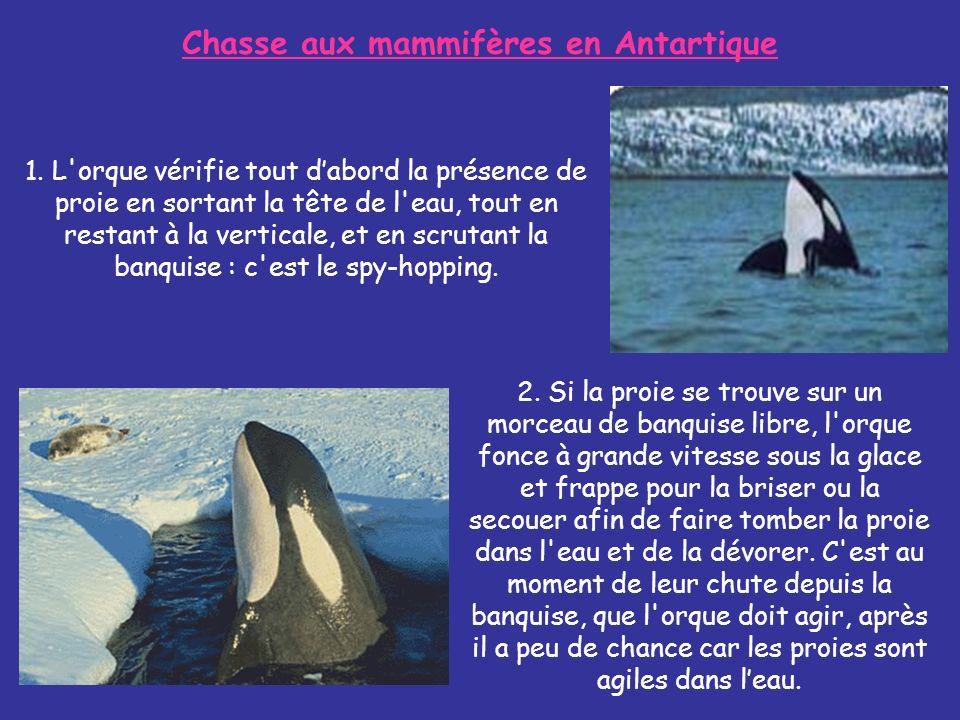 Chasse aux mammifères en Antartique