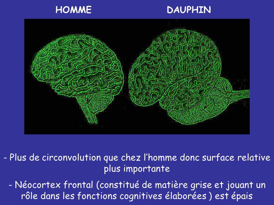 HOMME DAUPHIN. Plus de circonvolution que chez l'homme donc surface relative plus importante.