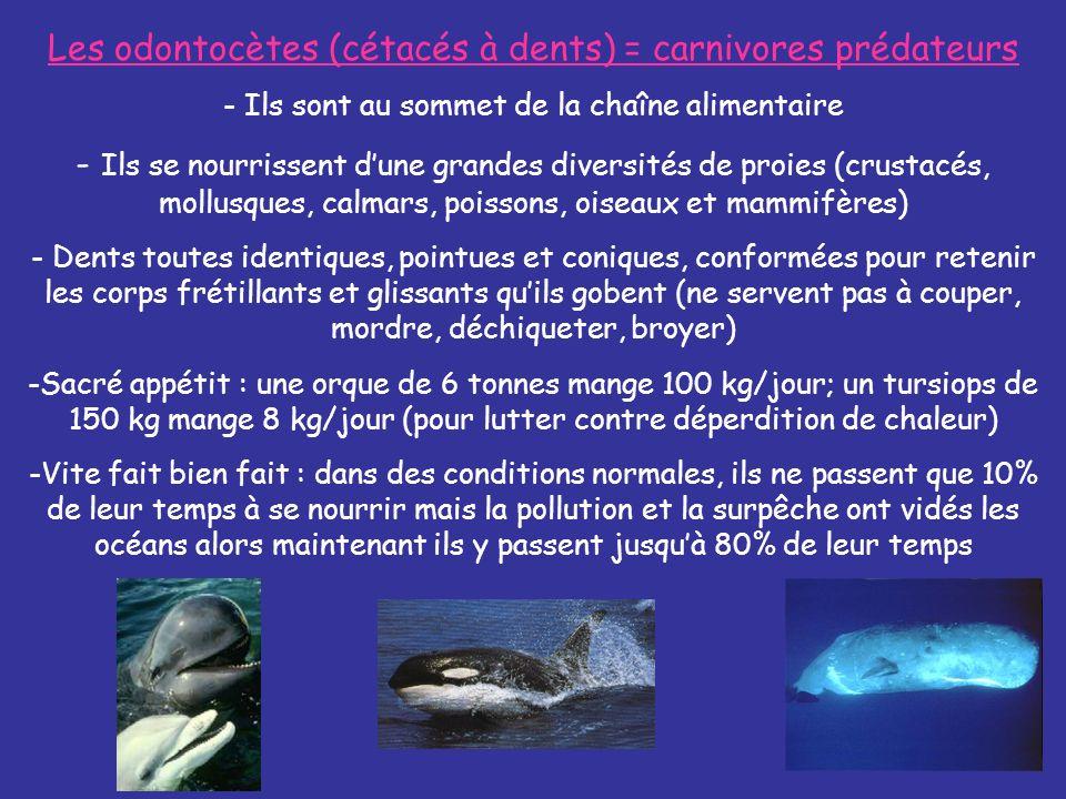 Les odontocètes (cétacés à dents) = carnivores prédateurs