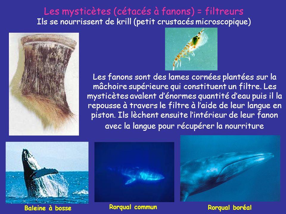 Les mysticètes (cétacés à fanons) = filtreurs Ils se nourrissent de krill (petit crustacés microscopique)