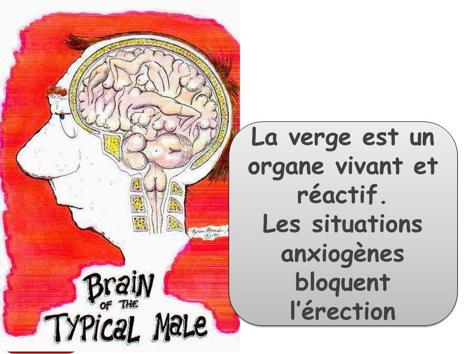 La verge est un organe vivant et réactif.