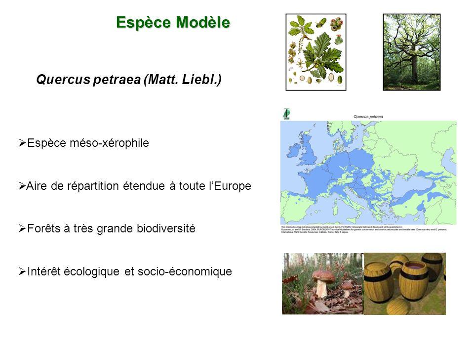 Quercus petraea (Matt. Liebl.)