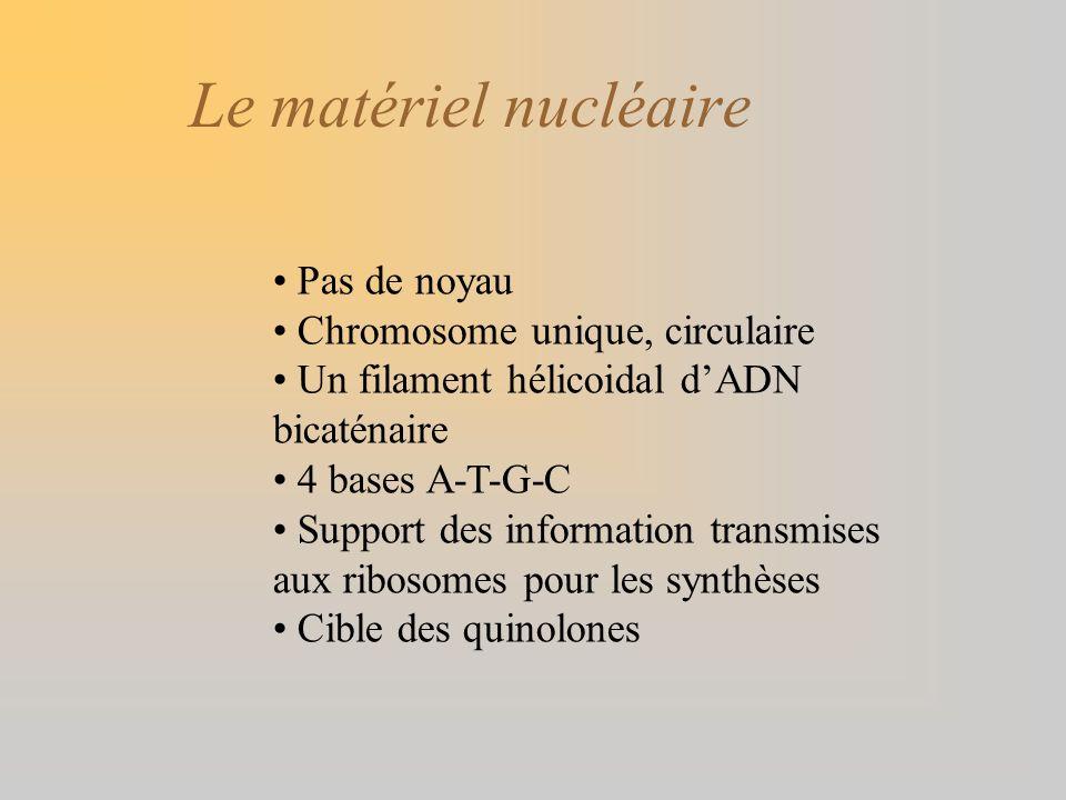 Le matériel nucléaire Pas de noyau Chromosome unique, circulaire