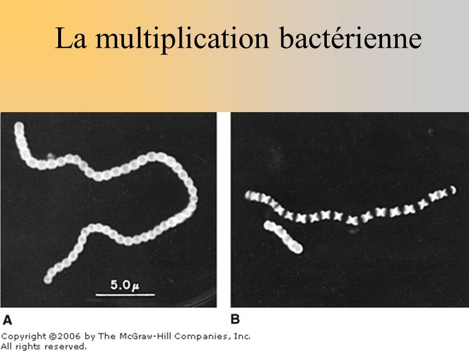 La multiplication bactérienne