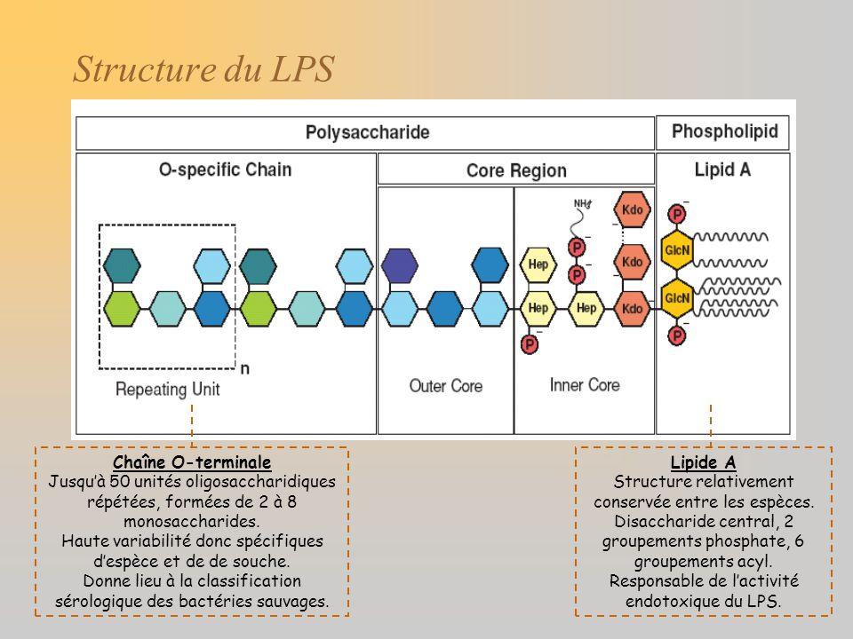 Structure du LPS Chaîne O-terminale