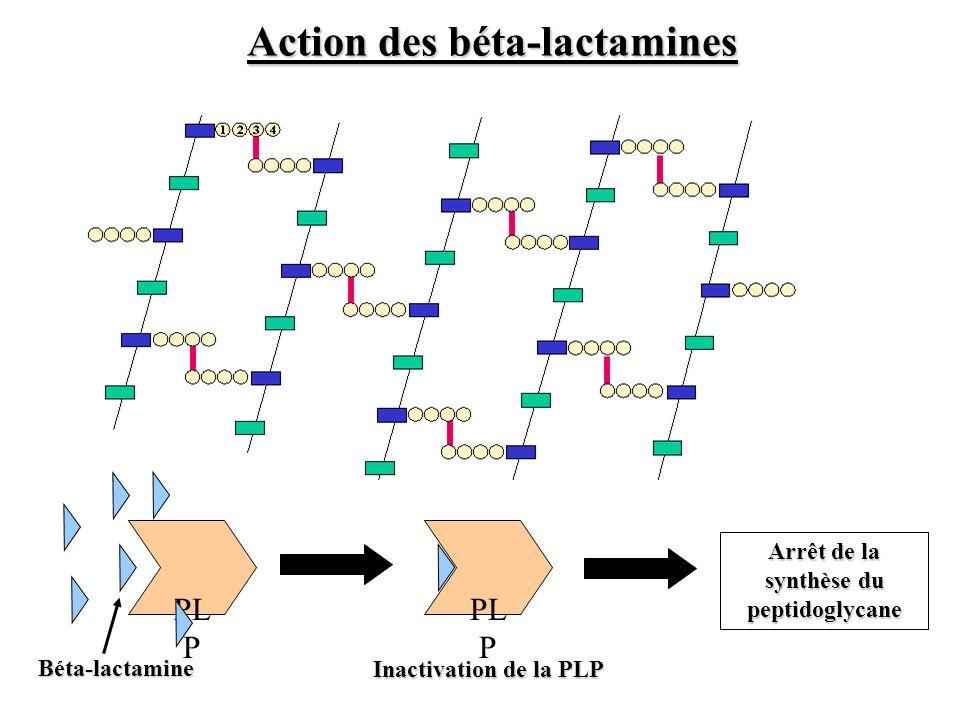 Action des béta-lactamines