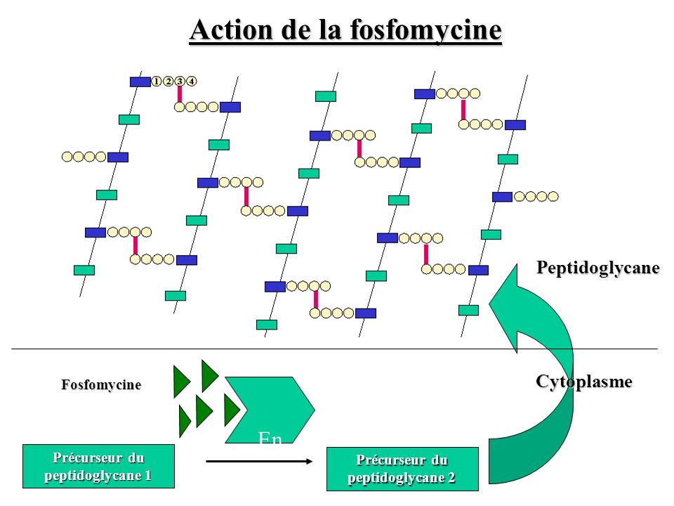 Action de la fosfomycine