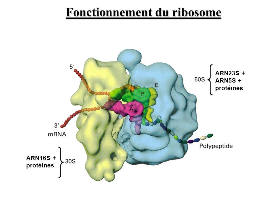 Fonctionnement du ribosome