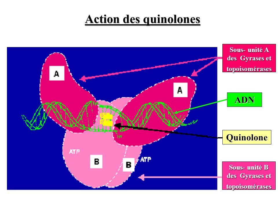 Action des quinolones ADN Quinolone