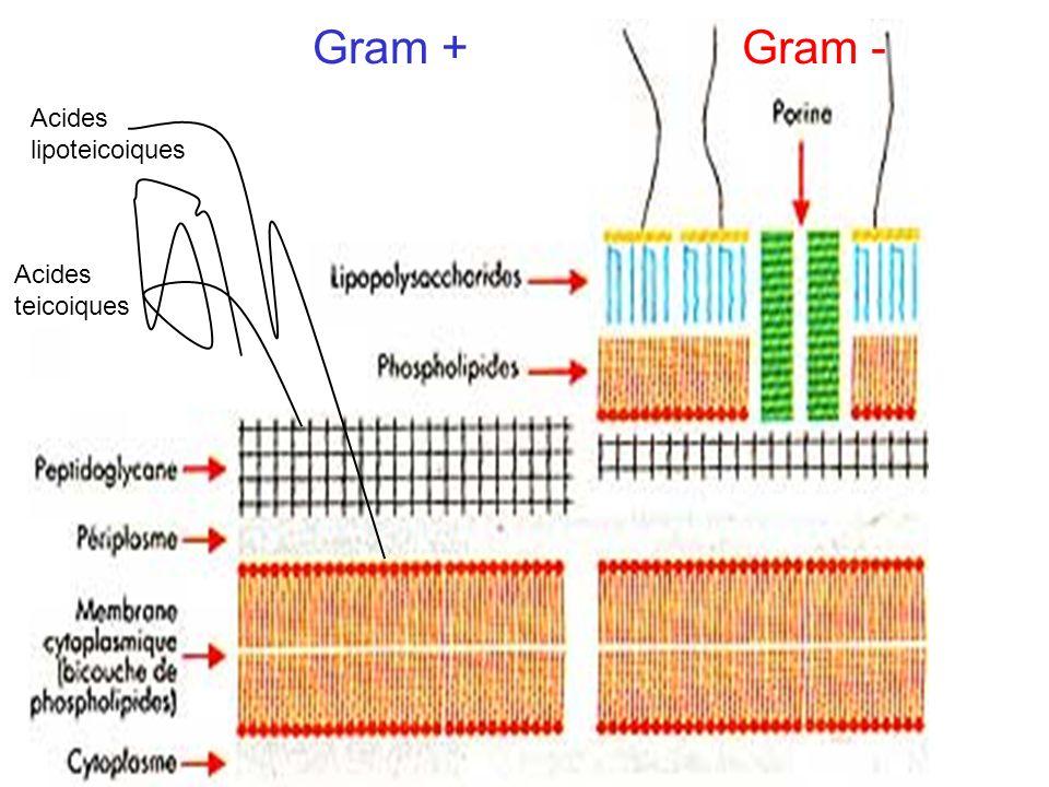 Gram + Gram - Acides lipoteicoiques Acides teicoiques