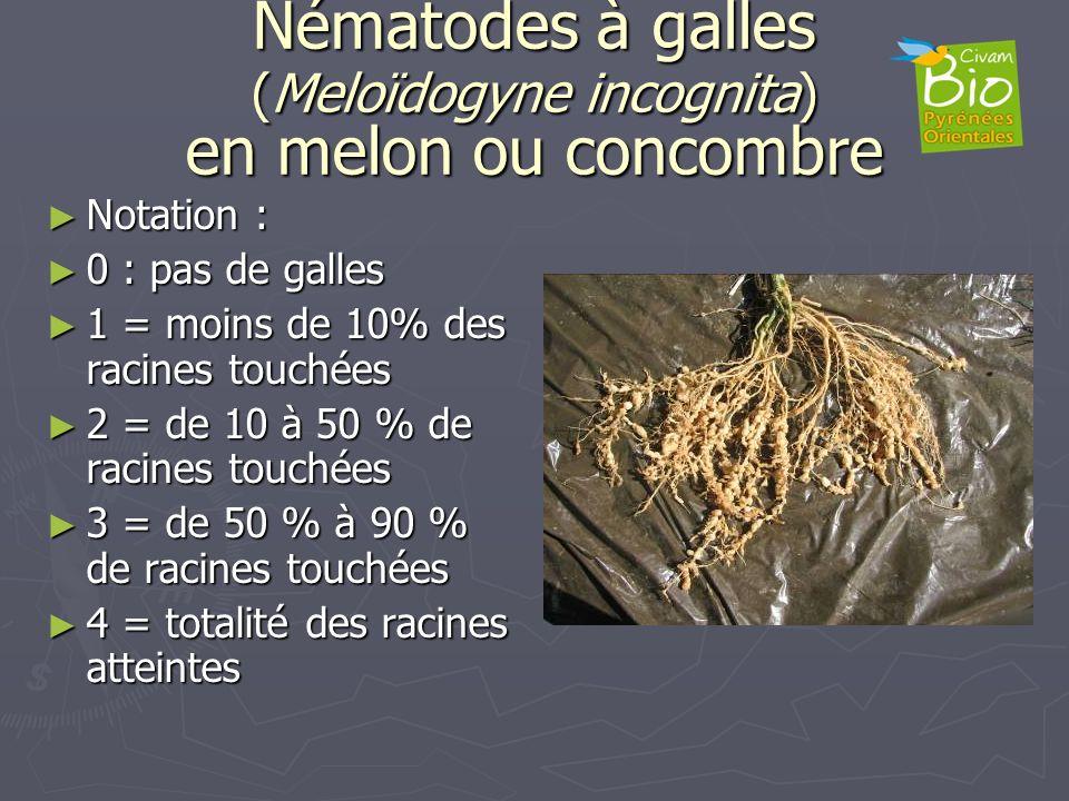 Nématodes à galles (Meloïdogyne incognita) en melon ou concombre