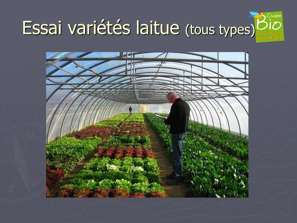 Essai variétés laitue (tous types)