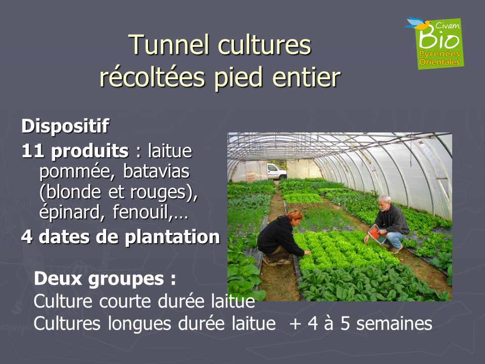Tunnel cultures récoltées pied entier