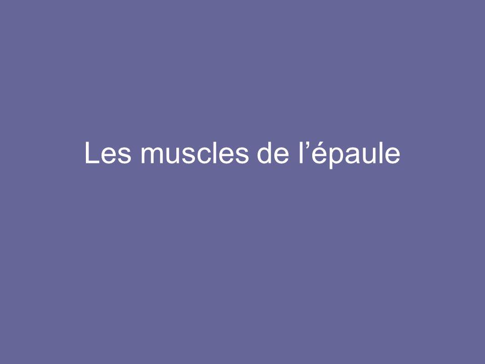 Les muscles de l'épaule