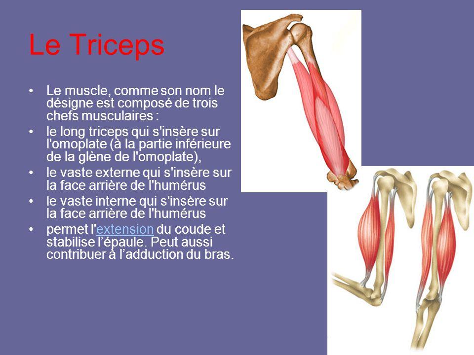Le Triceps Le muscle, comme son nom le désigne est composé de trois chefs musculaires :