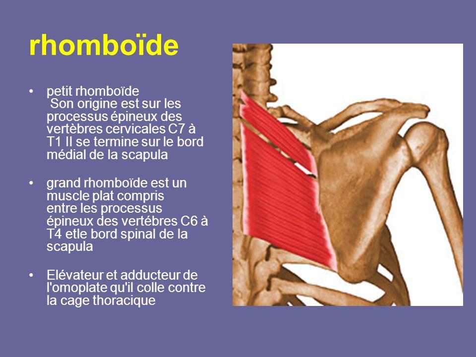 rhomboïde petit rhomboïde Son origine est sur les processus épineux des vertèbres cervicales C7 à T1 Il se termine sur le bord médial de la scapula.